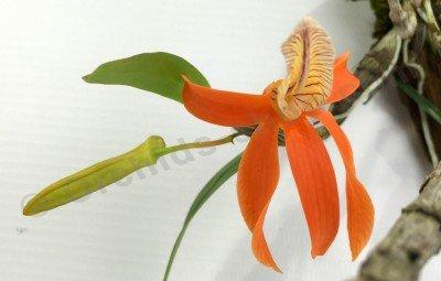 """Dendrobium unicum """"Big"""""""