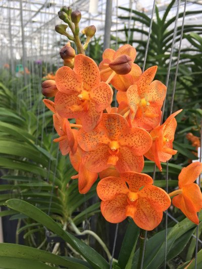 Ascocenda Orange Mandarin