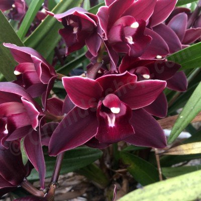 Cymbidium Devon Panther