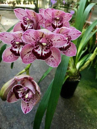 Cymbidium Finger of Suspicion