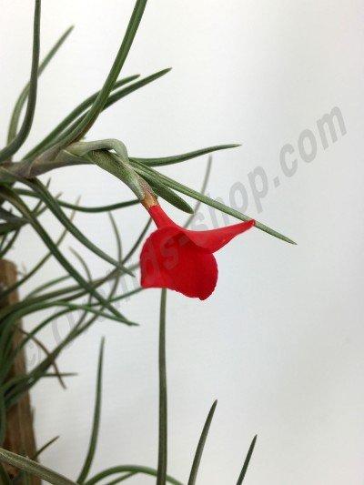 Tillandsia albertiana