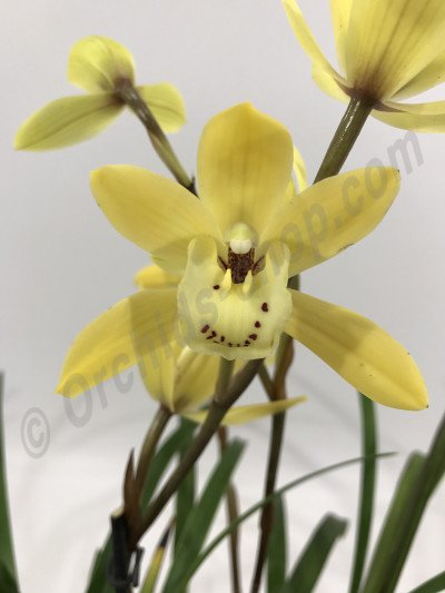 Cymbidium Golden Elf 4N