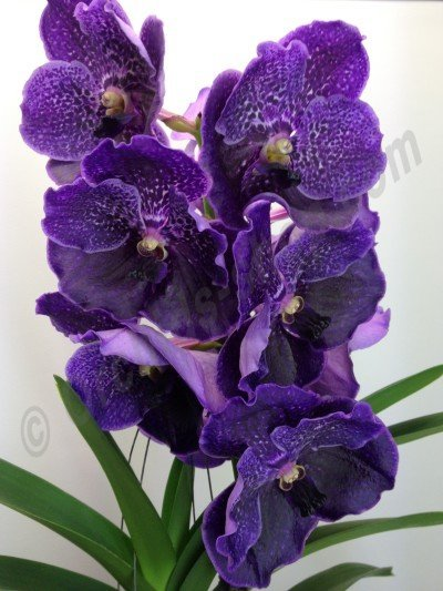 Vanda robert delight violet black