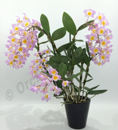 "Dendrobium amabile ""O'Brien 1909"""