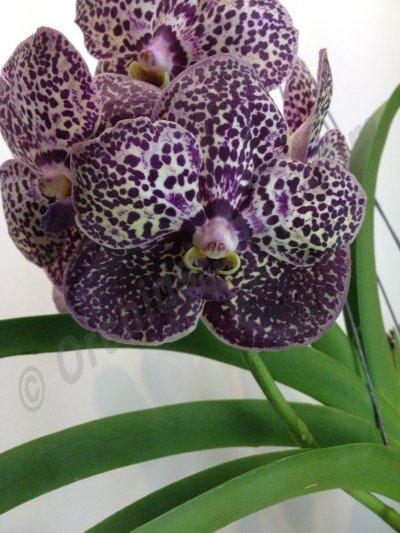 Ascocenda Kulvadee Purple Fragrance