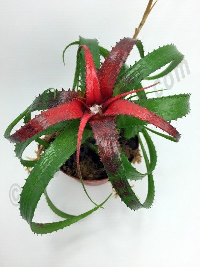 Neoregelia pendula var. Brevifolia