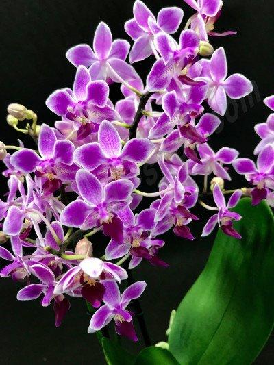 Phalaenopsis equestris var. Aparri