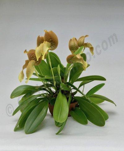 "Bulbophyllum grandiflorum ""Big"""