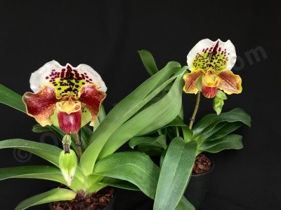 Paphiopedilum American Hybride 4N 'Big'