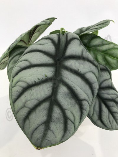 "Alocasia Silver Dragon ""Big Plant"""
