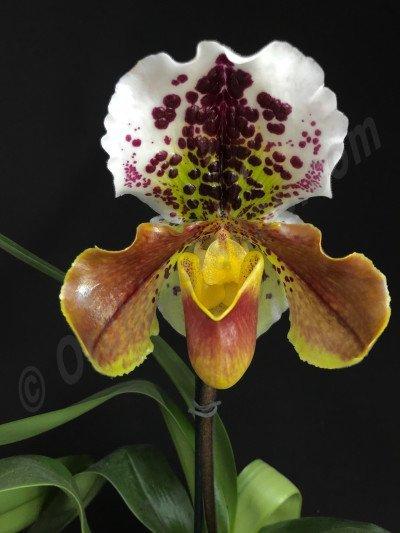 "Paphiopedilum American Hybride 4N ""Big"""
