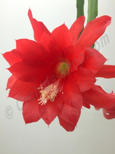 "Epiphyllum ackermannii ""Red""  'Big'"