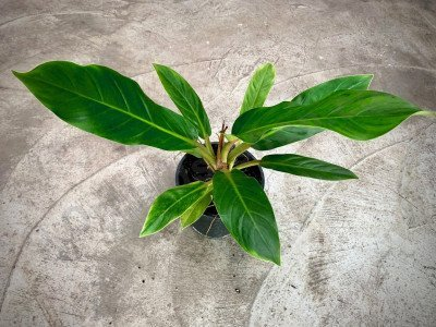 """Philodendron """"Yellow Fatboy"""""""