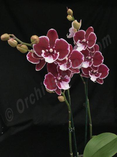 Phalaenopsis Elegant Debora 'Reyoung Eddy'