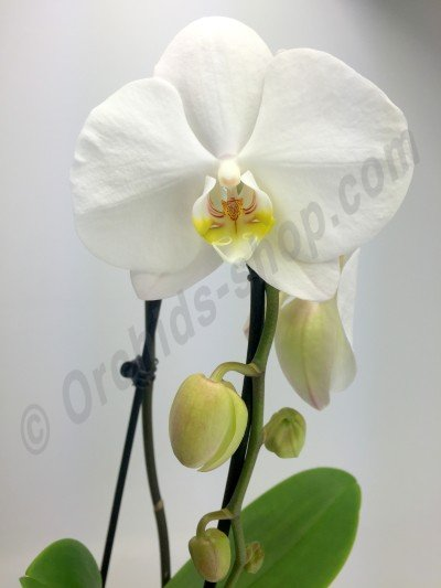 Phalaenopsis S1082