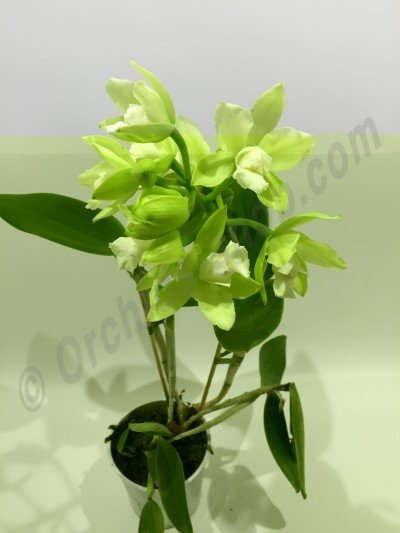 "Cattleychea Siam Jade ""Light Green Selection"""