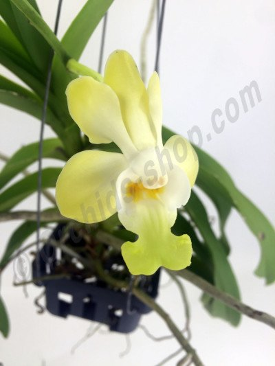 "Vanda denisoniana ""Yellow Big"""