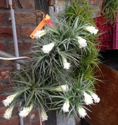 Tillandsia aeranthos alba