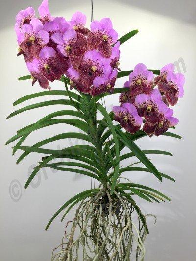 Vanda Sanderiana 'Pink'