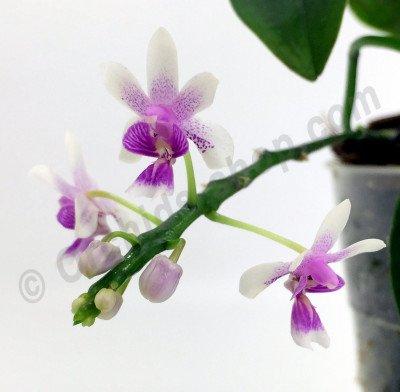 Phalaenopsis deliciosum (deliciosa)