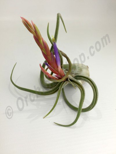 Tillandsia selleriana 'Smal Type'