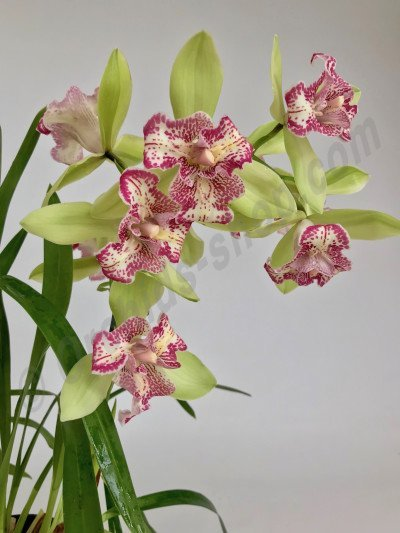 "Cymbidium Green Valley Emerald ""Big"""