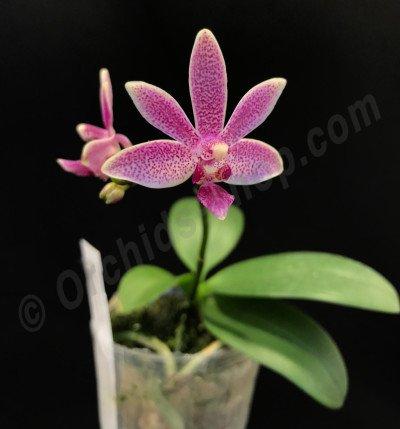 Phalaenopsis Caribbean Sunset x minus