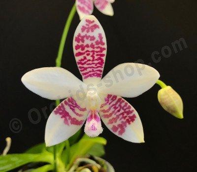 Phalaenopsis (amabilis x tetraspis C1) x tetraspis  C1