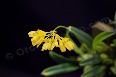 Bulbophyllum macroleum