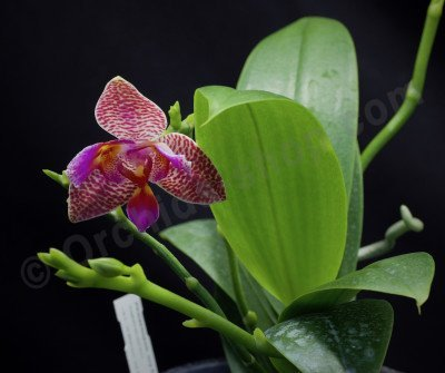 "Phalaenopsis Joy Fairy Tale ""Joy"""