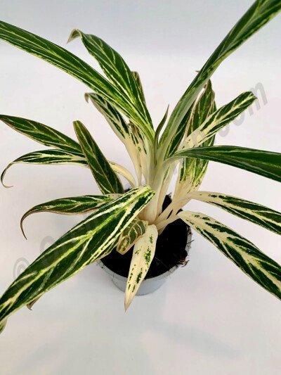Aglaonema Special White Hybrid