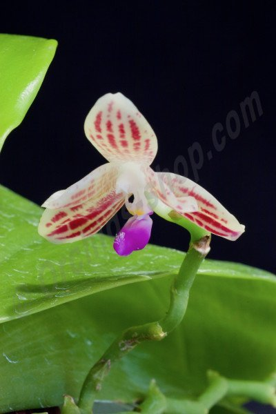 Phalaenopsis javanica 'Big'