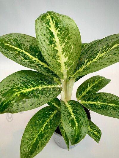 Aglaonema Key Lime