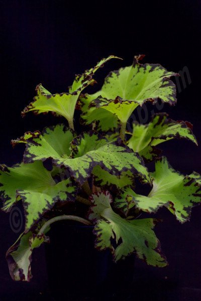Begonia spec.Green Typ