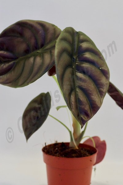 Alocasia cuprea ''Red Dragon''( 1 a 3 leaves)