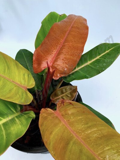 Philodendron Prince of Orange '