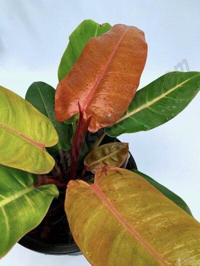 Philodendron Prince of Orange ''Big plant''