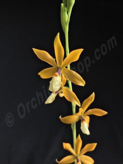 Epidendrum (tripuctatum x semiaptera) x vitellinum
