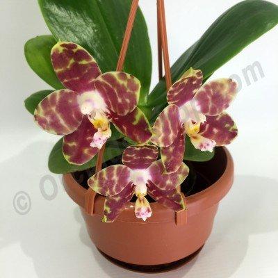 Phalaenopsis Gelbieber x mariae