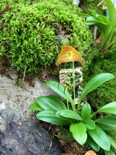 Masdevallia instar