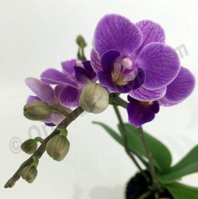 "Doritaenopsis Sogo Vivien ""Special Blue''  ( Big Plant )"