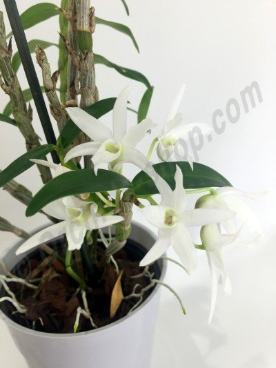 Dendrobium moniforme
