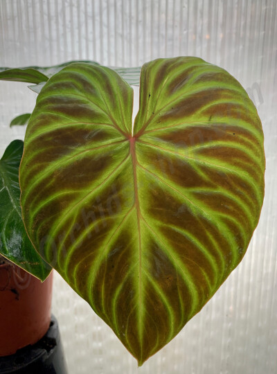 Philodendron verrucosum 'Incensi'  (Small plant)