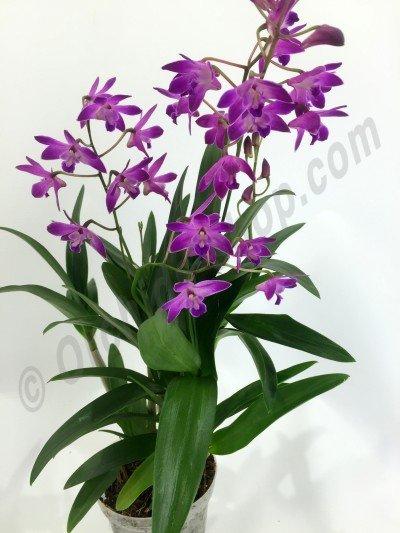 """Dendrobium kingianum dark """"Big"""""""