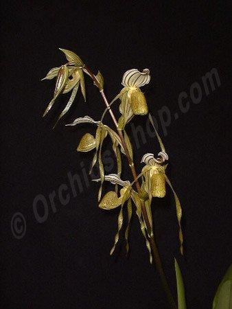 Paphiopedilum Temptation (Paph. kolopakingii var. topperi x philippinense var. laevigatum)