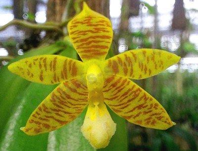 Phalaenopsis Cornu-Cervi var. flavum x Phal amboinensis var. flava
