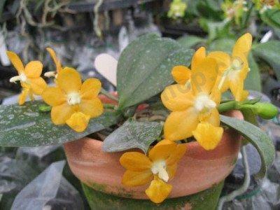 Phalaenopsis Liu's Gold Coin
