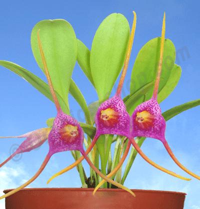 Masdevallia glandulosa