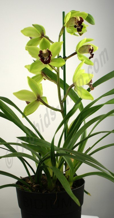 "Cymbidium Lovely Green ""Red Lip"""