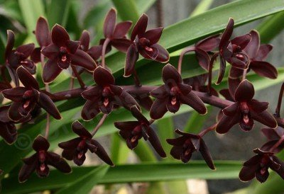 "Cymbidium Little Black Sambo ""Black Magic"""